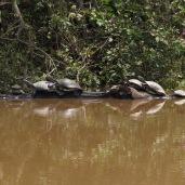Turtes